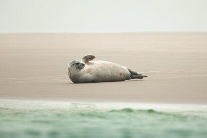 Eine Robbe am Strand von Borkum