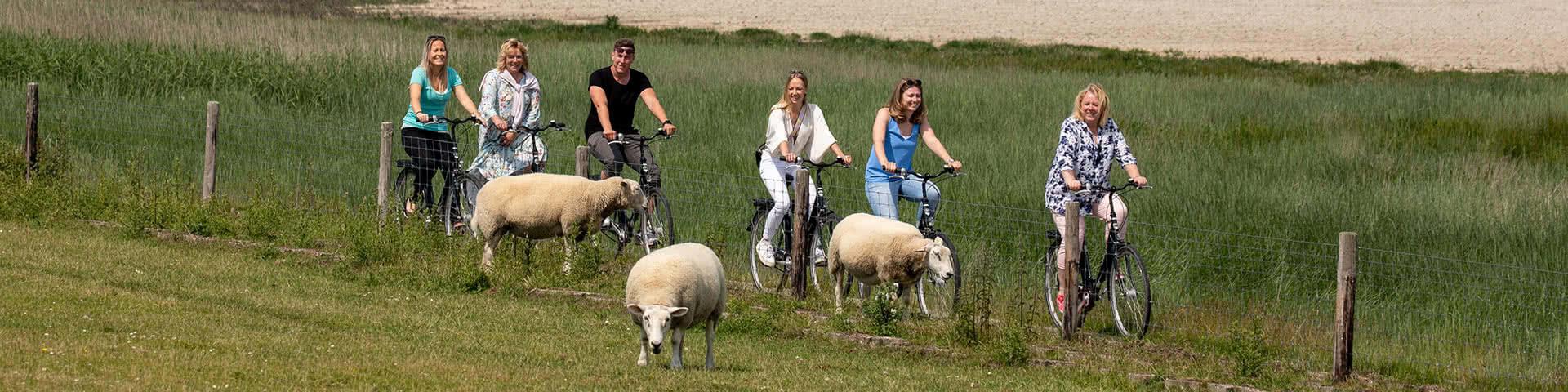 Eine Gruppe macht eine Radtour entlang am Deich und fährt dabei an drei Schafen vorbei