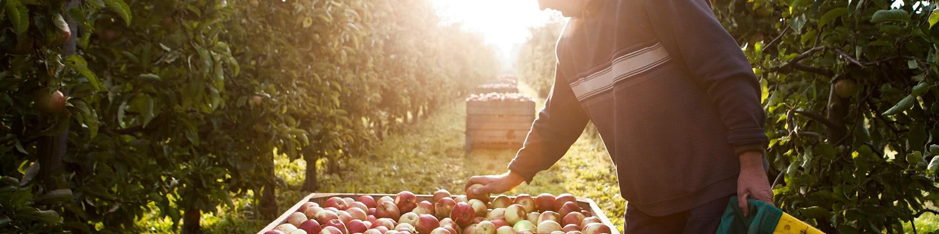 Mann erntet Äpfel im alten Land
