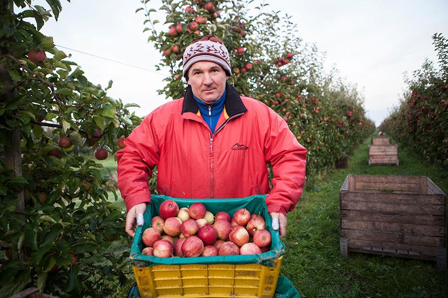 Mann zeigt volle Kiste mit frisch geernteten Äpfeln im alten Land